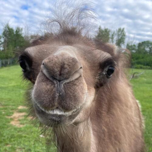 Ambrosia the Baby Camel
