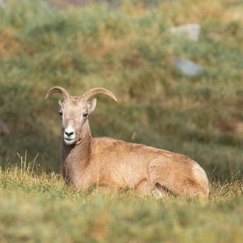 Creature Feature: Bighorn Sheep!