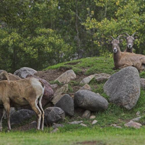 Creature Feature: Rocky Mountain Bighorn Sheep