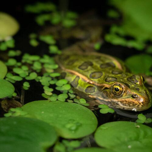 Northern Leopard Frog Jumpstarter