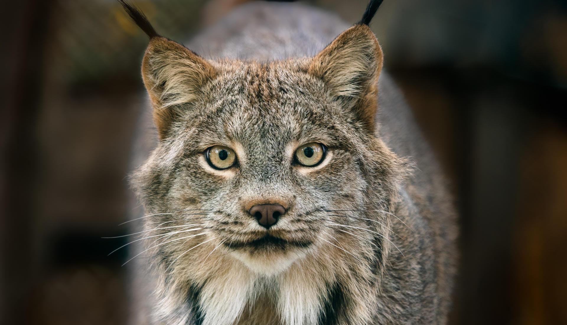 Creature Feature: Canada Lynx