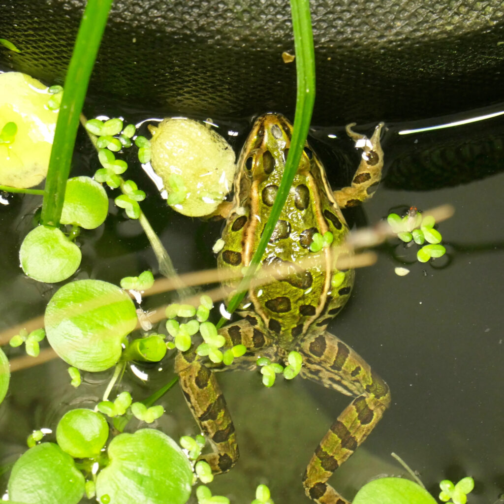 Northern Leopard Frog in Tank
