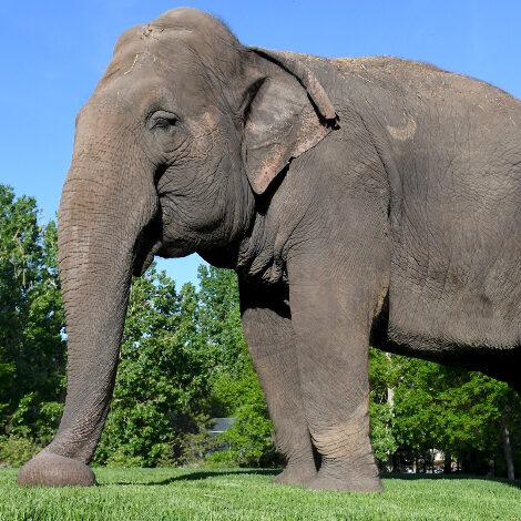 Asian Elephants are Big!