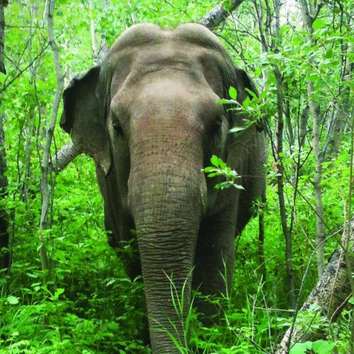 Lucy the Asian Elephant