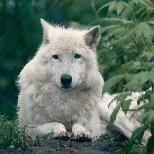 Arctic Wolf at the Edmonton Valley Zoo