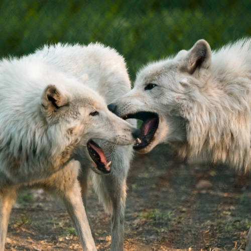 Arctic Wolves Edmonton Valley Zoo