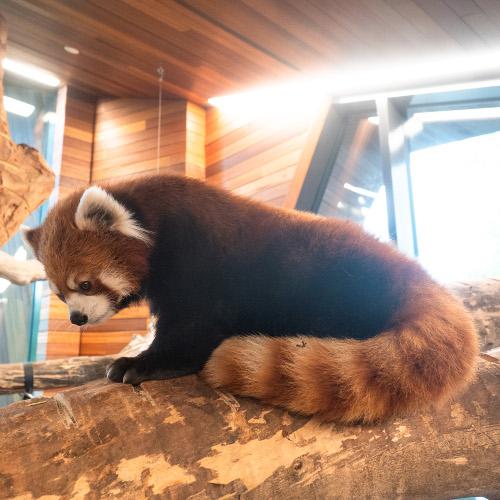 Kalden Exploring the Red Panda Enclosure