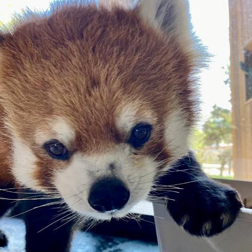 Red Panda Hello!