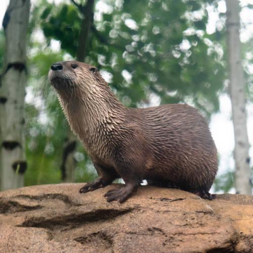 River Otter outside