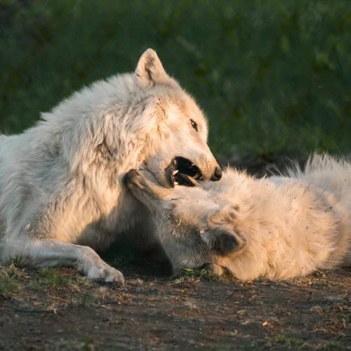Shilah And Tundra Playing
