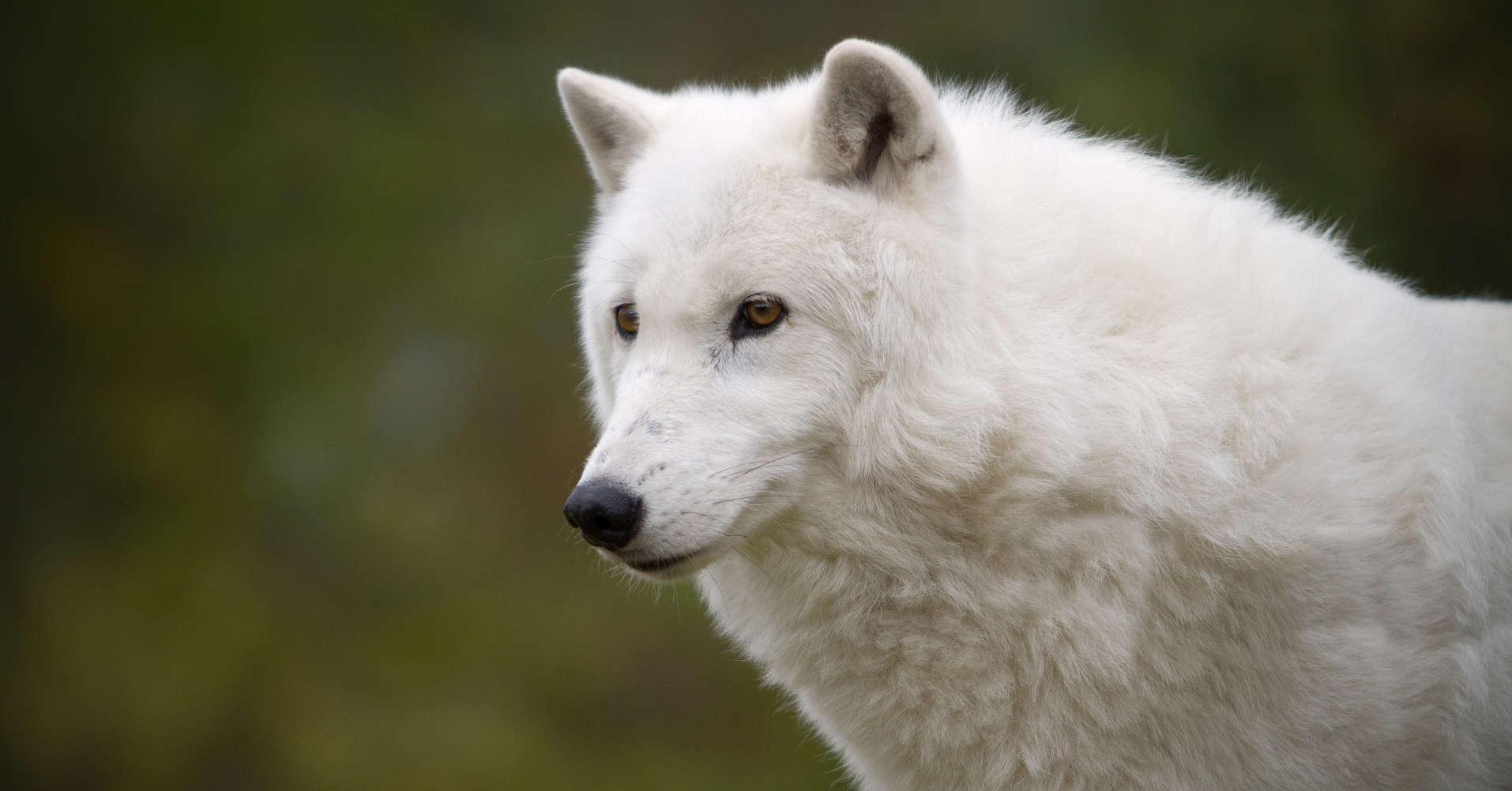Creature Feature: Arctic Wolf