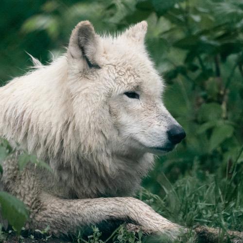 Wild Times: Arctic Wolf